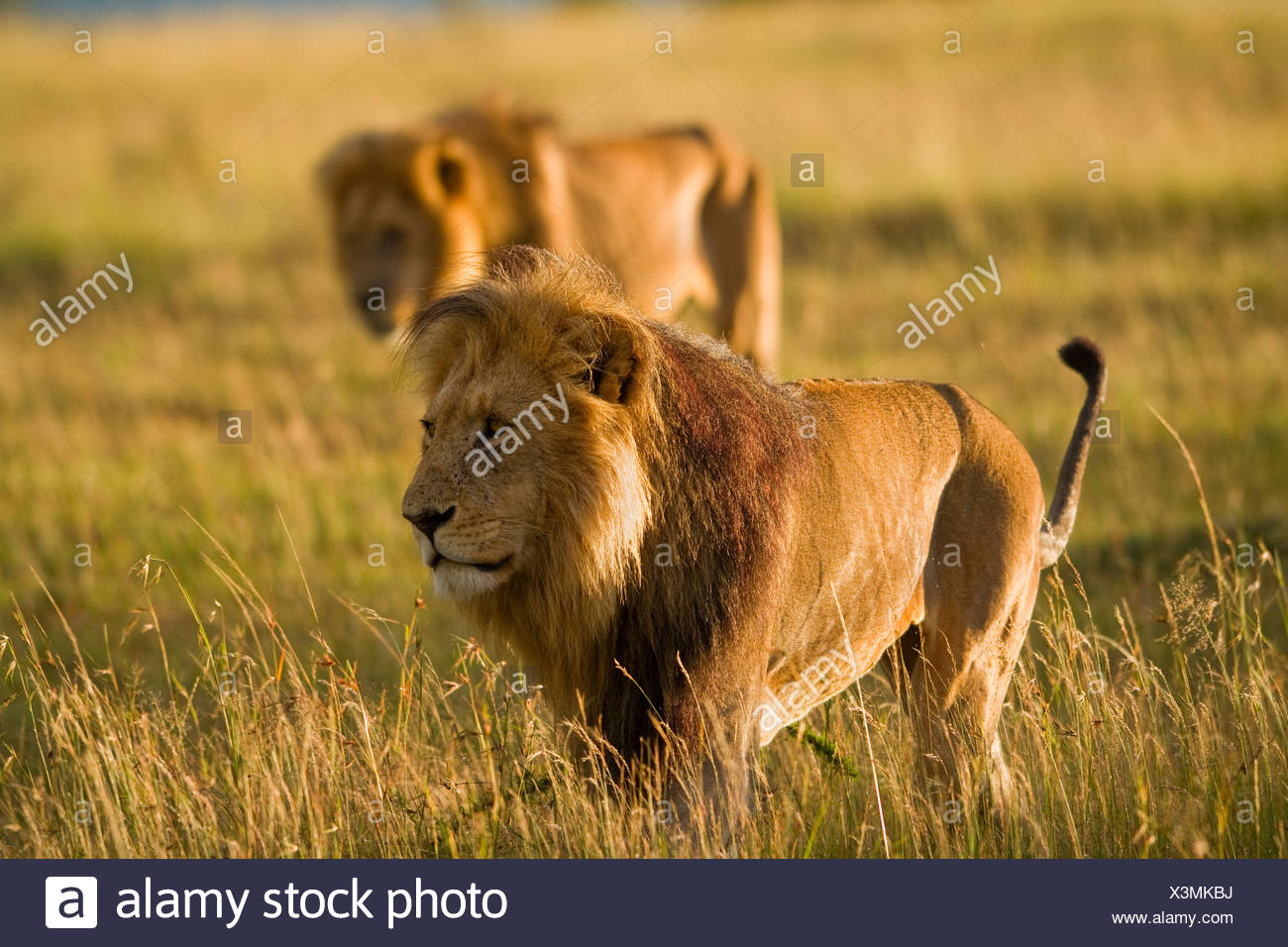 Lions keep an eye over their Masai Mara, Kenya domain. - Stock Image
