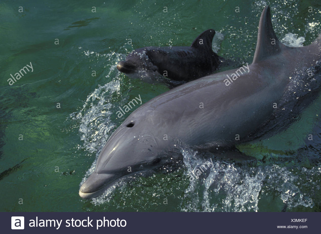 Bottlenose Dolphin, tursiops truncatus, Mother and Calf at Surface - Stock Image