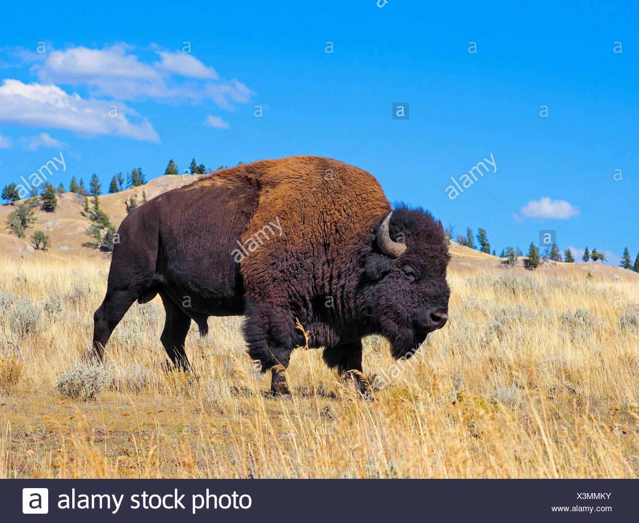 American bison, buffalo (Bison bison), male buffalo, USA, Wyoming, Yellowstone National Park, Lamar Valley - Stock Image
