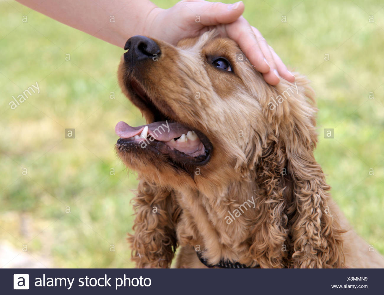 Cocker Spaniel is petted - Stock Image