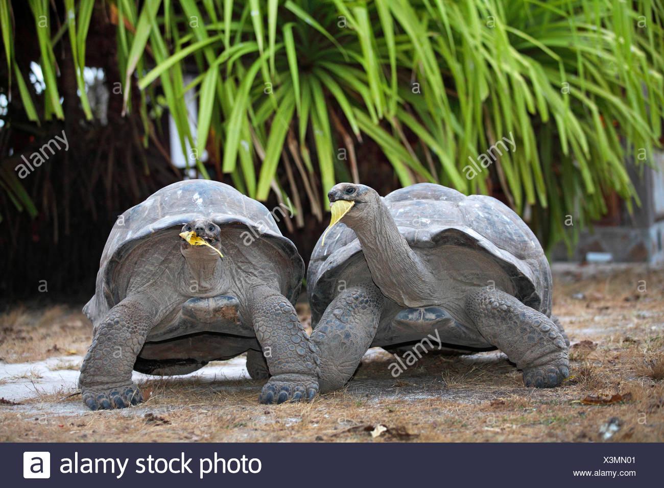 Seychelles giant tortoise, Aldabran giant tortoise, Aldabra giant tortoise (Aldabrachelys gigantea, Testudo gigantea, Geochelone gigantea, Megalochelys gigantea), two Seychelles giant tortoises feeding, Seychelles, Bird Island - Stock Image