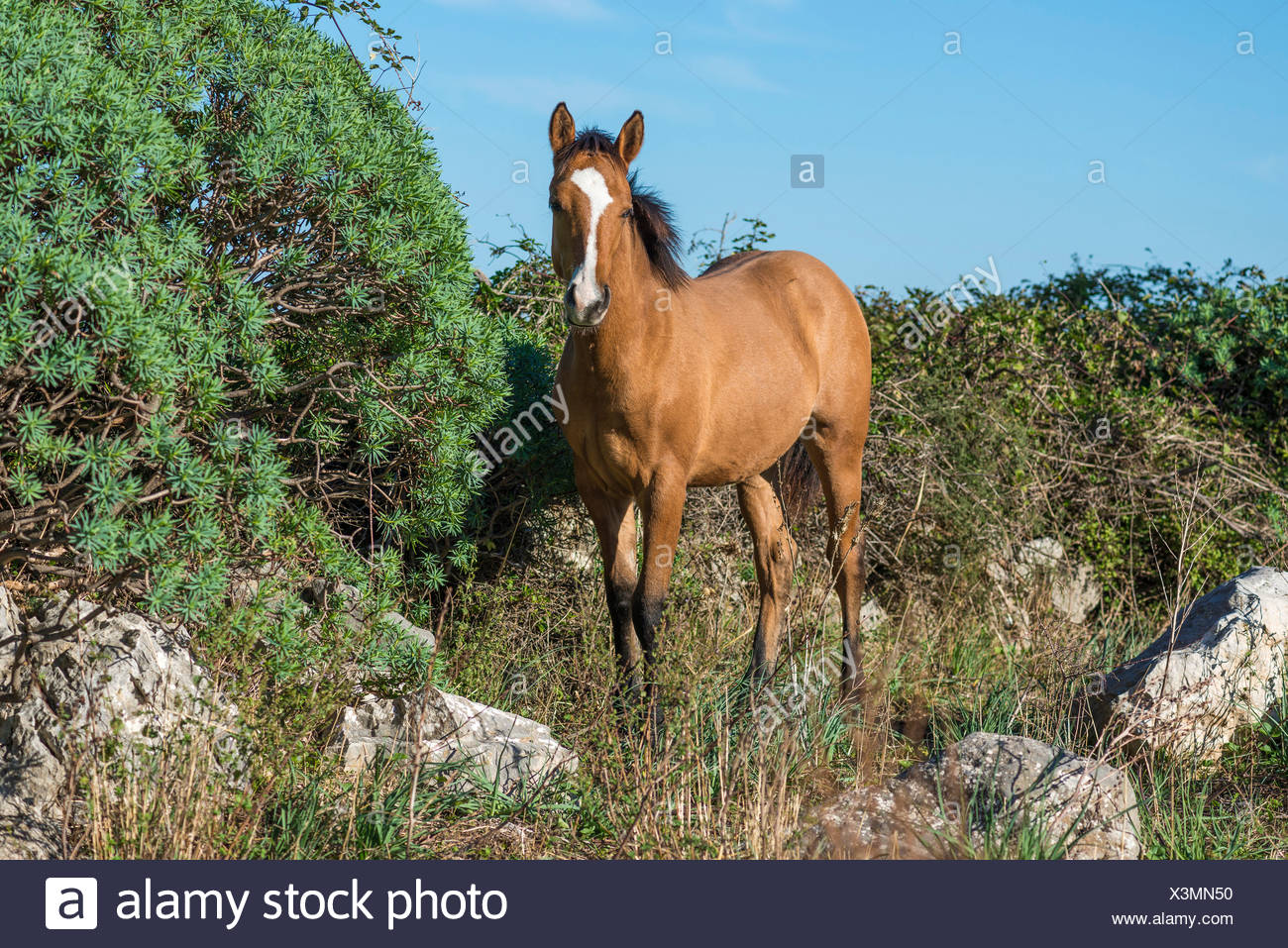 Horse, mare standing on rocky terrain, Parco delle Madonie, Madonie Regional Natural Park, near Collesano, Province of Palermo - Stock Image
