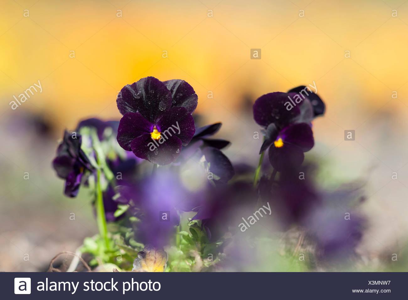 Garden Pansy (Viola wittrockiana), Kassel, Kassel, Hesse, Germany Stock Photo