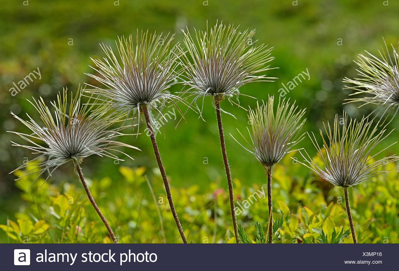 Withered spring pasqueflower - Stock Image