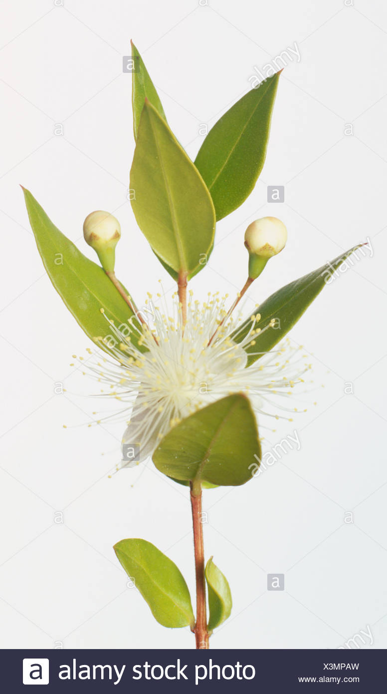 Myrtus Communis Myrtle White Flowers With Golden Stamens And Oval