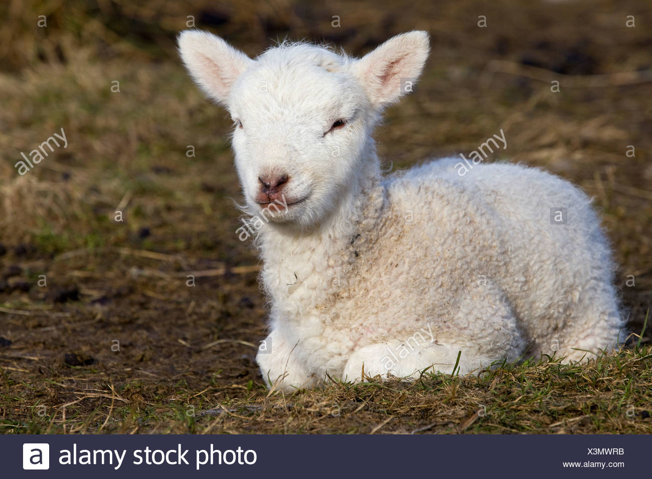 Lamb Lying Down High Resolution Stock Photography And Images Alamy