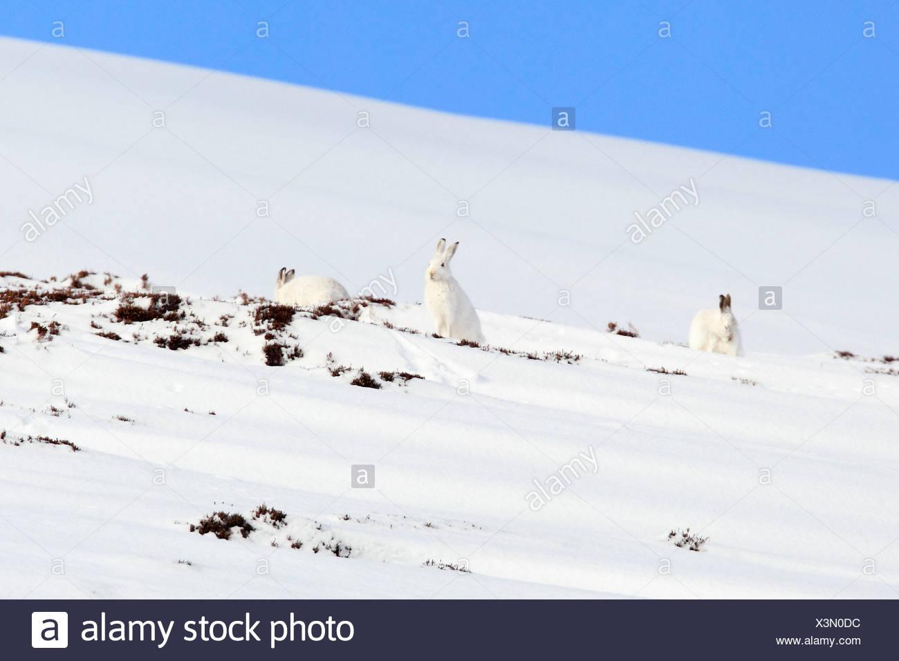 3, Alps, alpine, adapt, adjust, fauna, mountain, mountains, Cairngorms, ice, fauna, fur, cliff, mountains, hare, rabbit, highlan - Stock Image