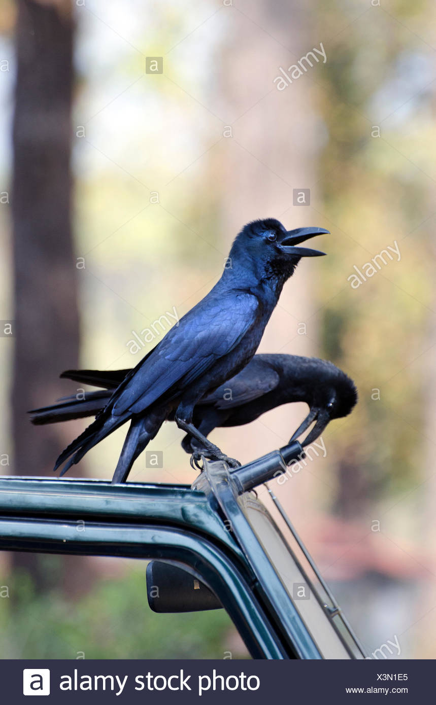 Indian Jungle Crow  (Corvus culminatus), two nosy Jungle Crows sitting on the roof of a car, India, Madhya Pradesh - Stock Image