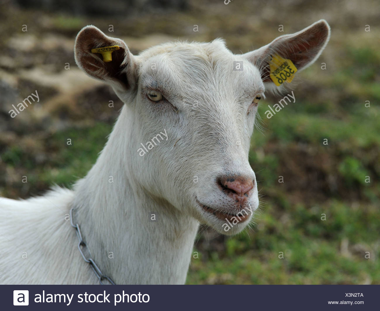 A white goat called a British Saanen with a clean white face. Stock Photo