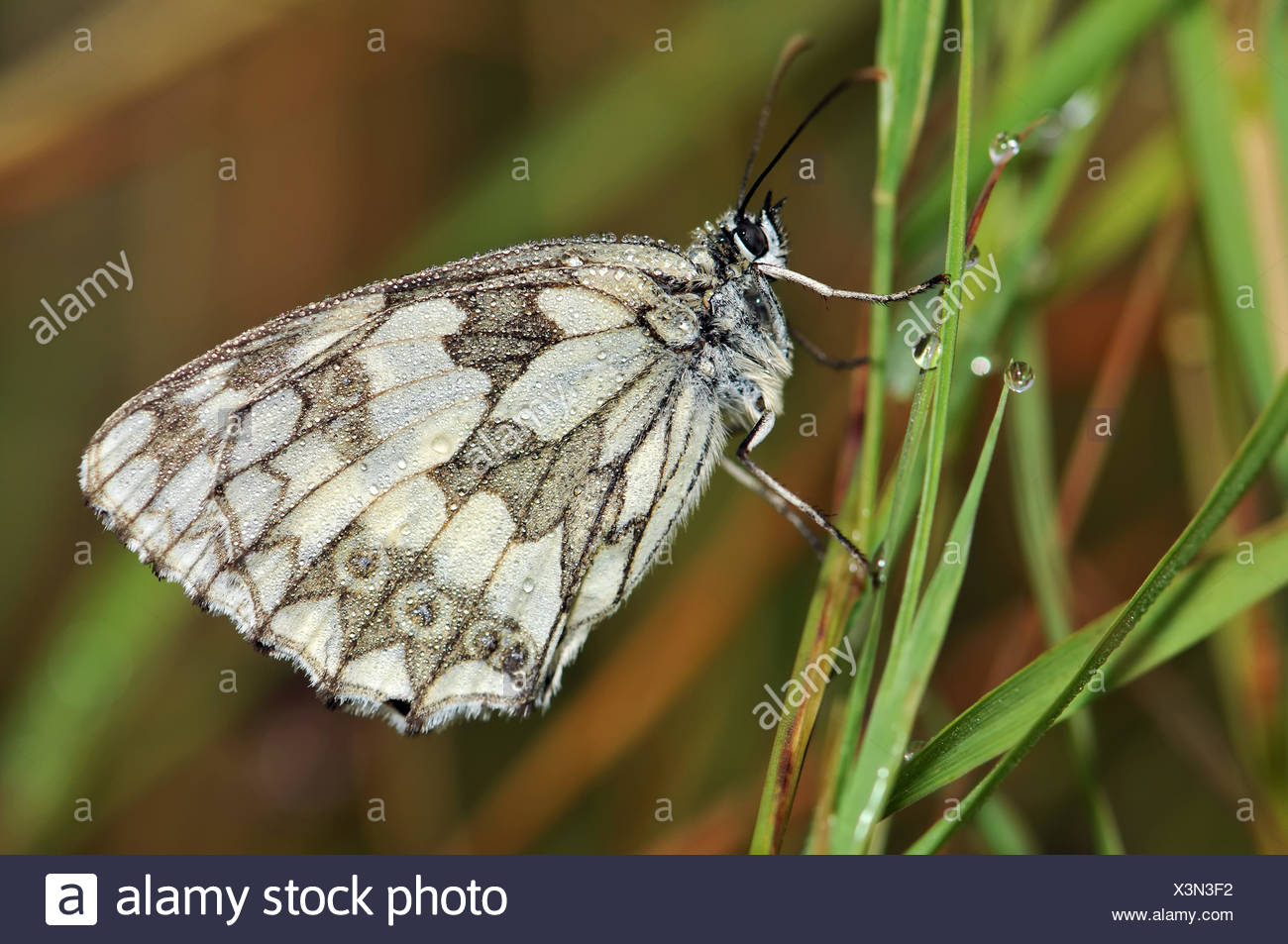 marbled white on the Grass - Stock Image