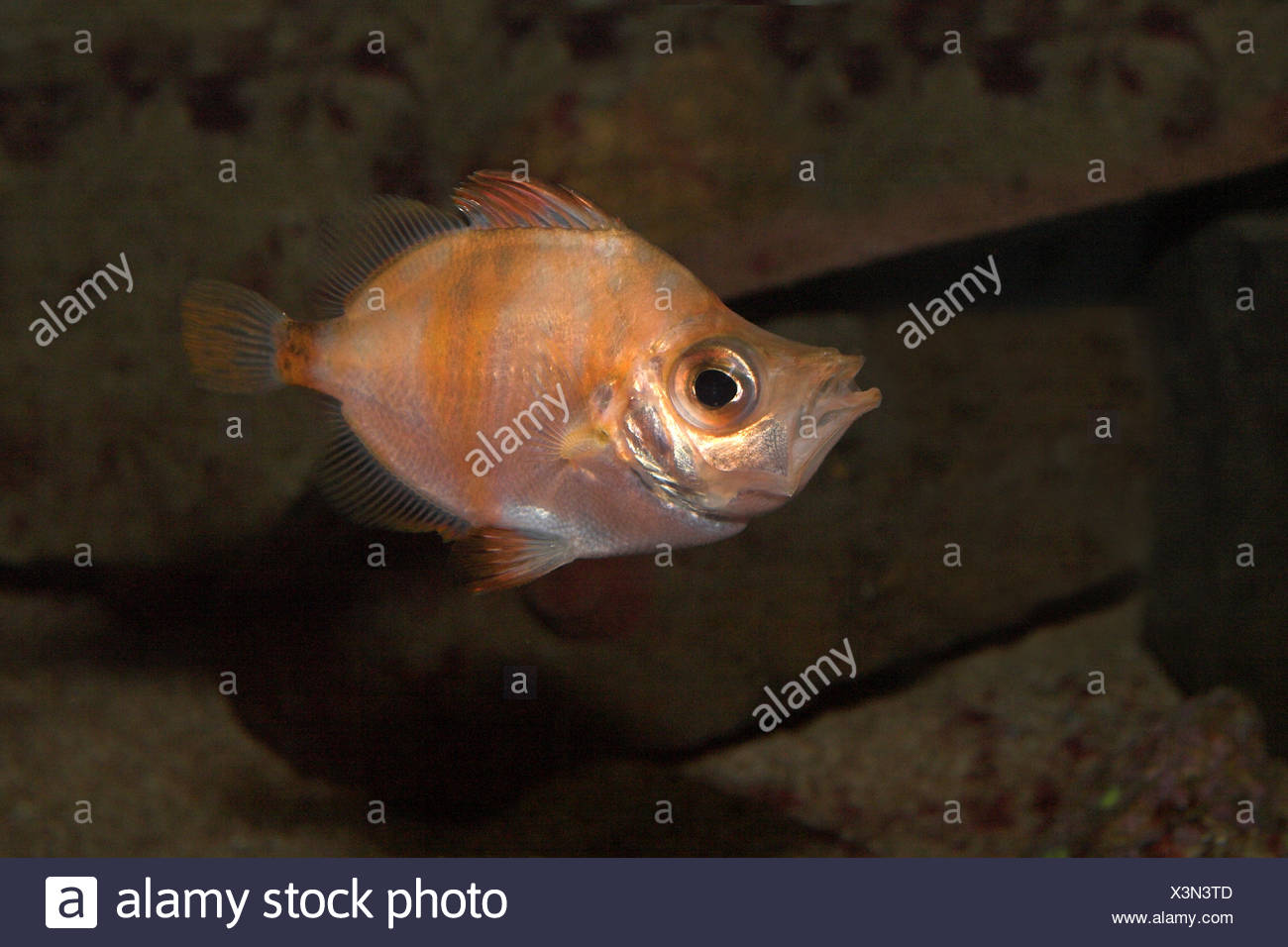 picture of a swimming boarfish Stock Photo