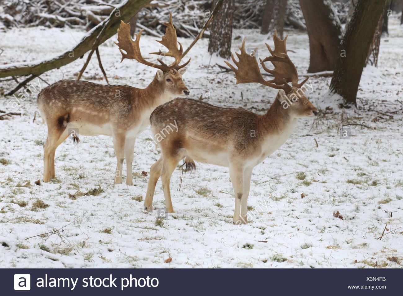 Fallow deer in winter, Dama dama - Stock Image