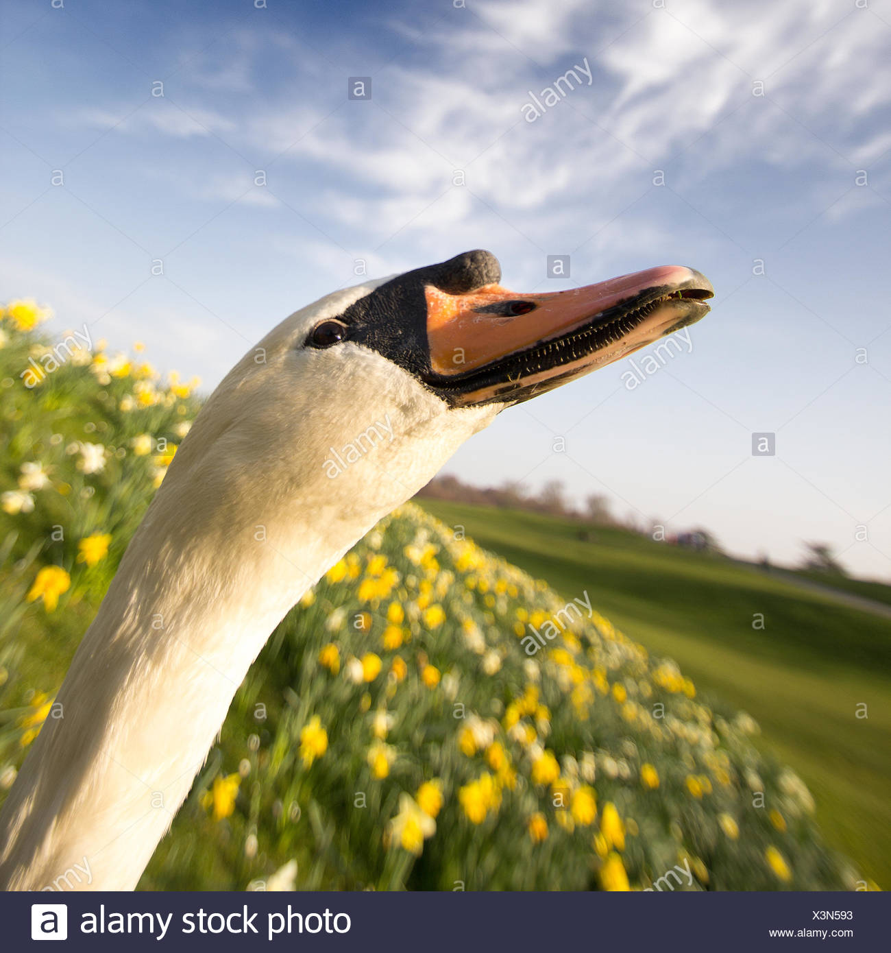 Close up of swan - Stock Image