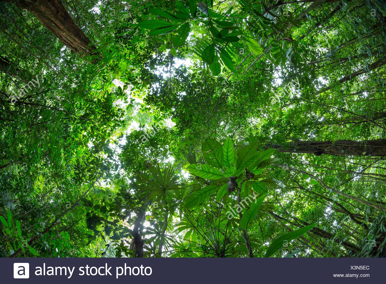 Looking up at rainforest canopy, Osa Peninsula, Costa Rica - Stock Image