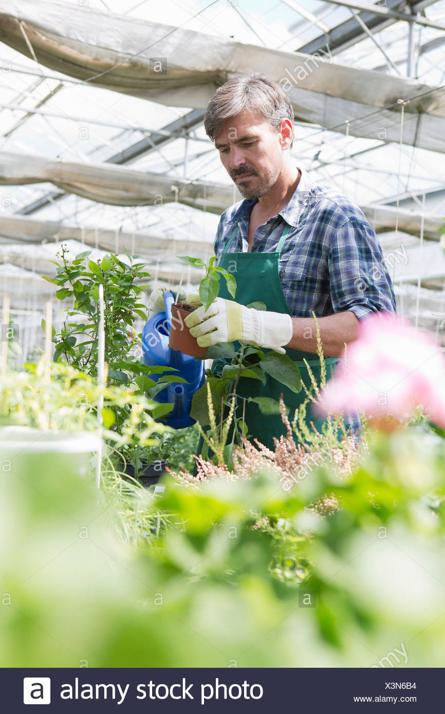 Organic farmer watering young plants in polytunnel Stock Photo
