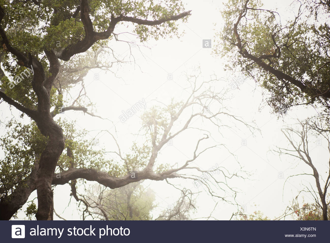 Fog rolling over tree tops in forest - Stock Image