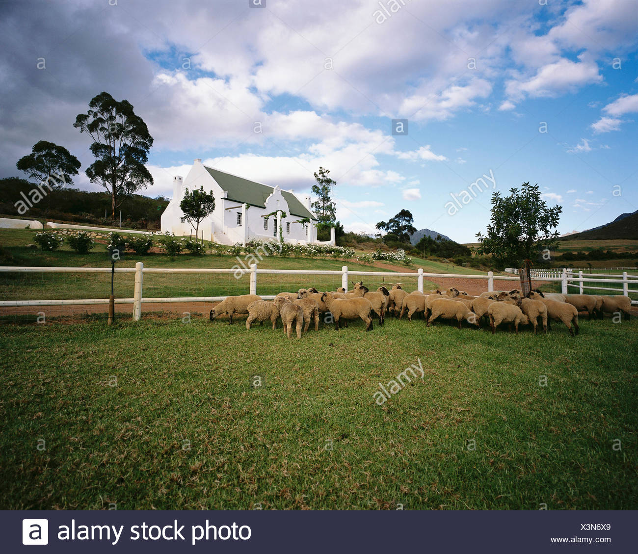 Sheep in Field Swellendam, Western Cape, South Africa - Stock Image