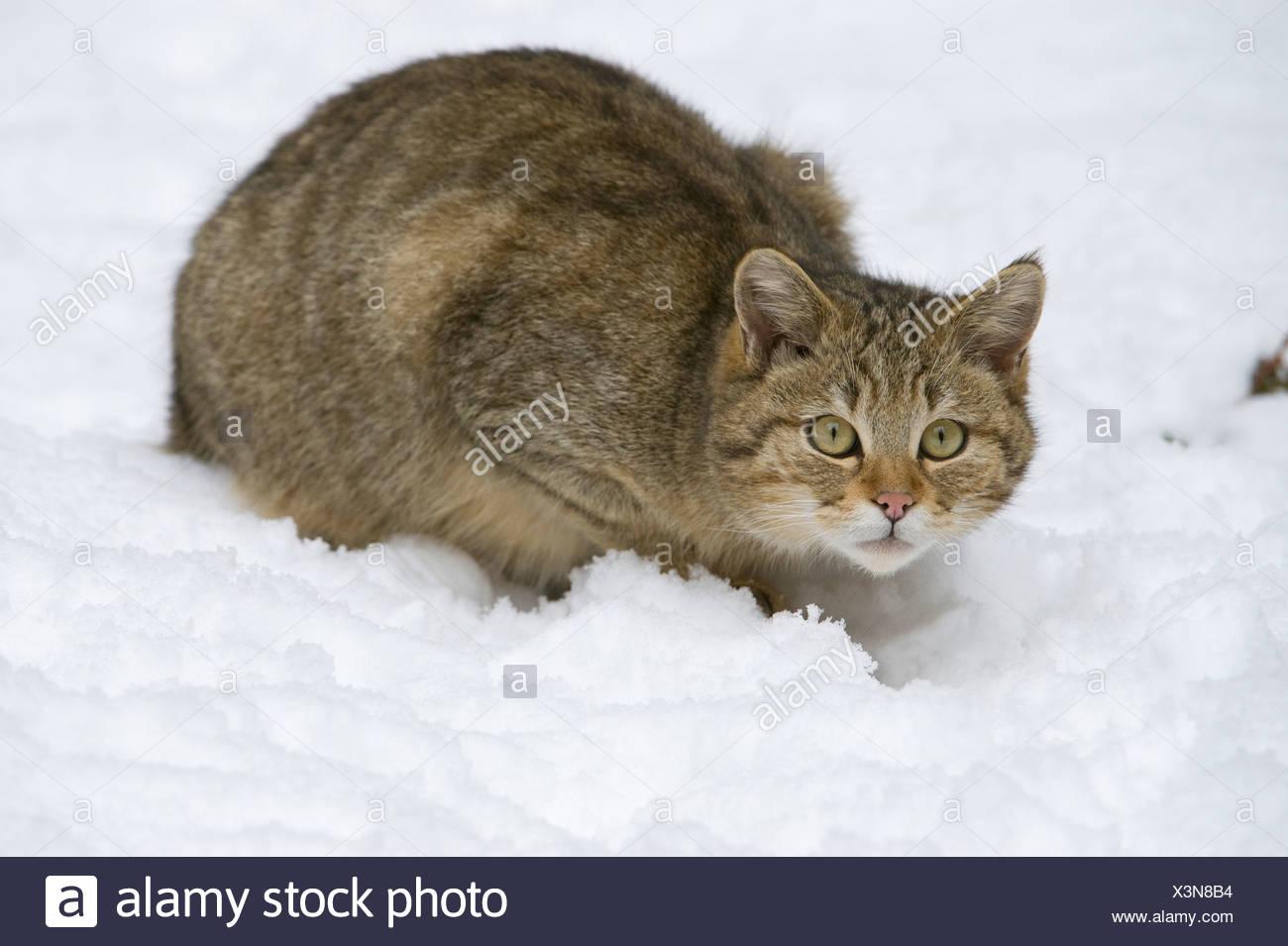 Wild Cat (Felis silvestris) in the snow, Bavarian Forest National Park, enclosed area, Neuschoenau, Bavaria, Germany, Europe - Stock Image