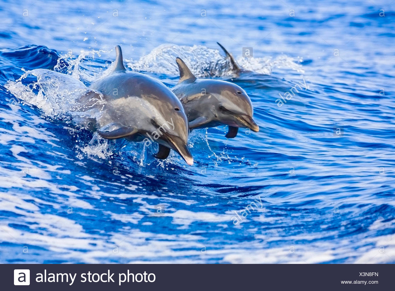 Pantropical Spotted Dolphin, Mother and Calf, Stenella attenuata, Hawaii, USA Stock Photo