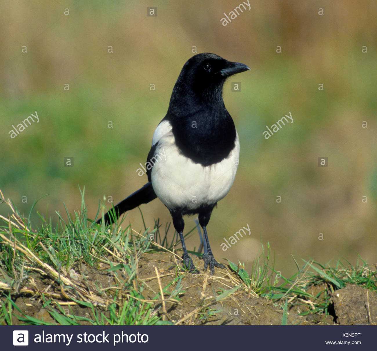 Magpie Pica pica L 45-50cm. Unmistakable black and white, long-tailed bird. Seen in small groups outside breeding season. Varied - Stock Image