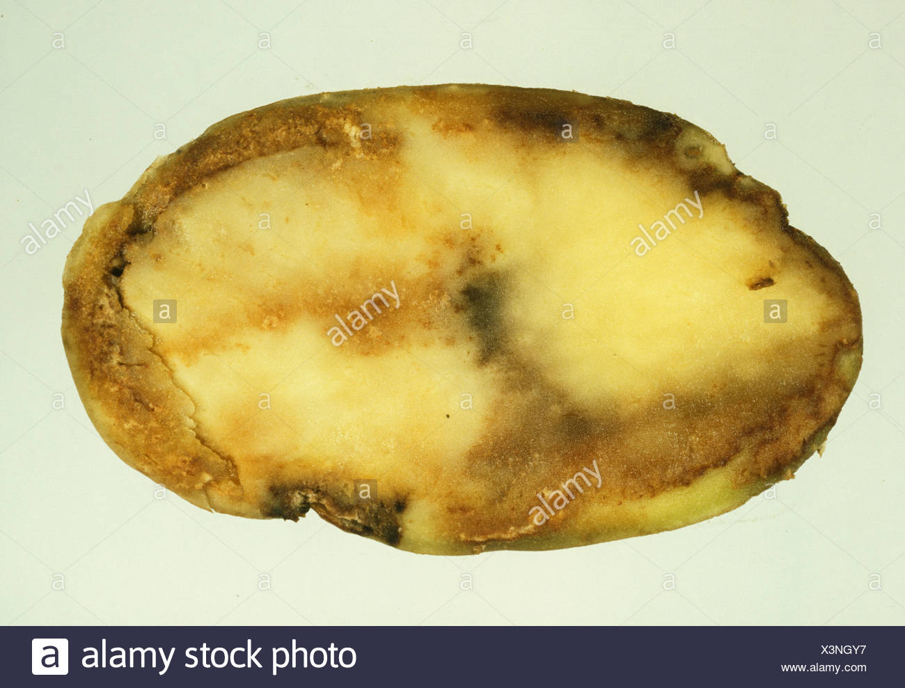 Potato late blight Phytophthora infestans flesh damage in potato section - Stock Image