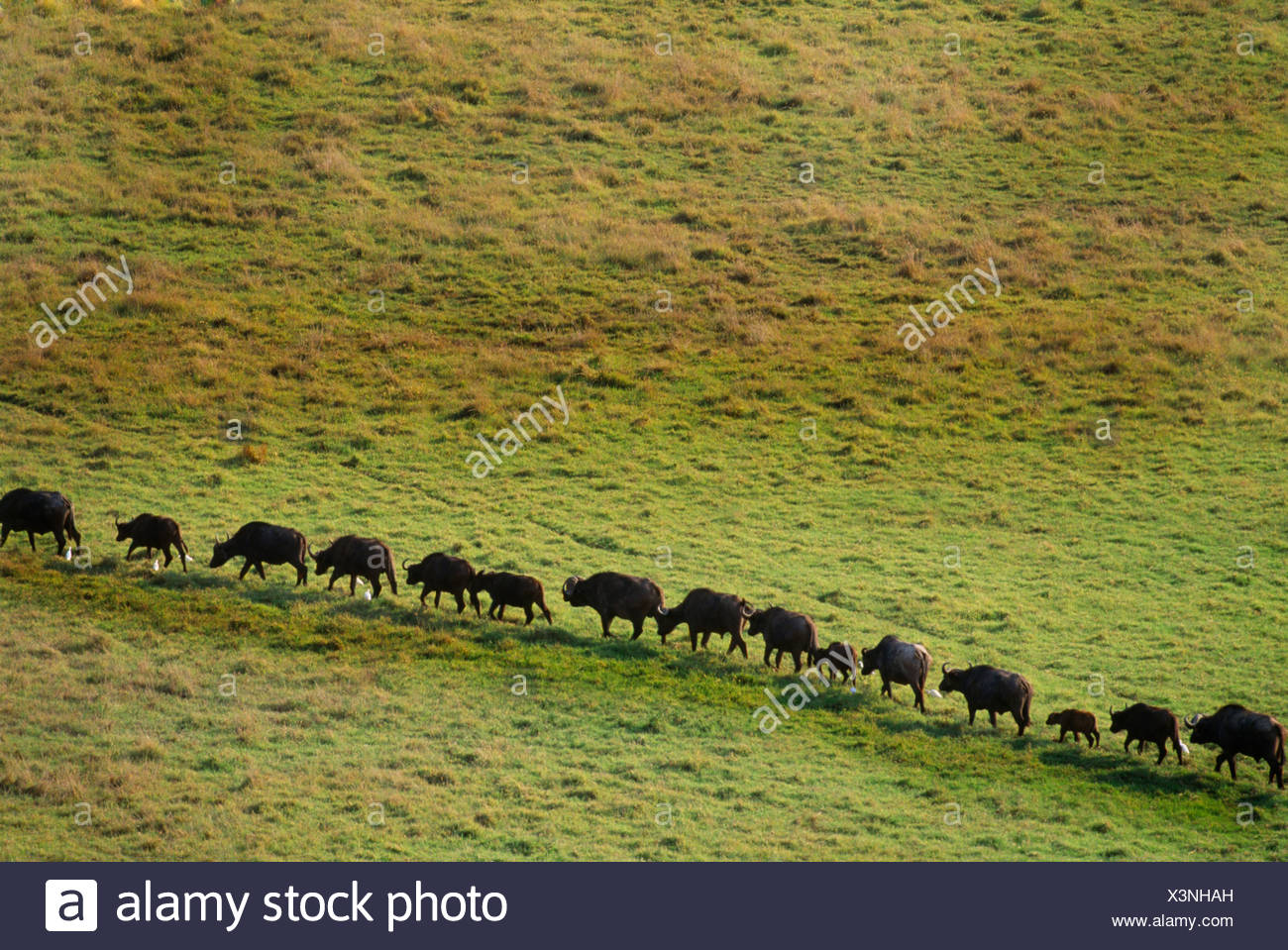 African Buffalo live in savanna and woodlands of central and southern Africa. - Stock Image