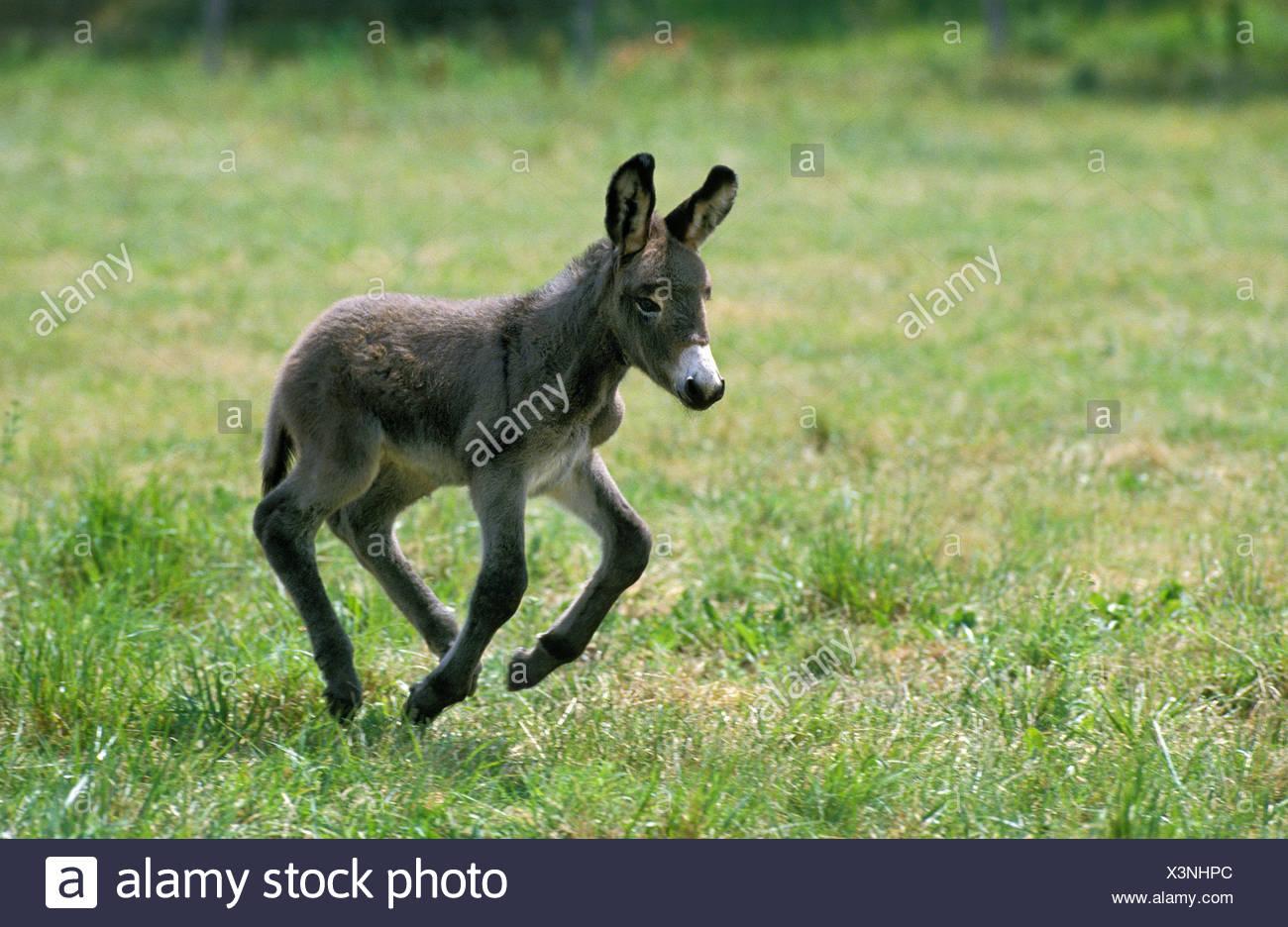 Poitou donkey, galloping foal, Stock Photo