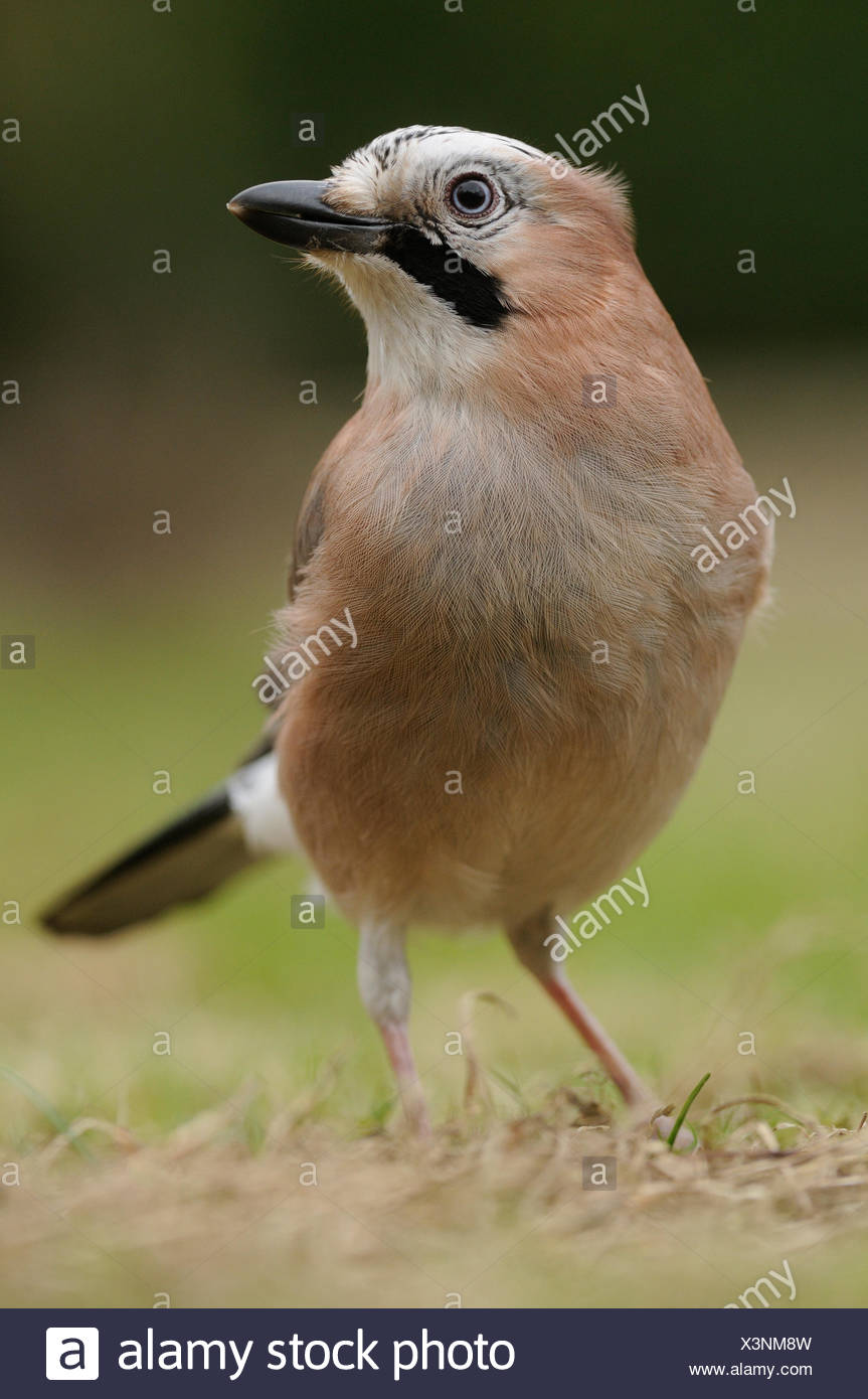 Jay foraging on the ground - Stock Image