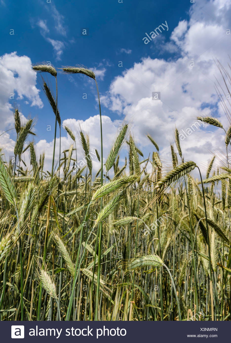 Green ears of Rye (Secale cereale), rye field against a blue sky with clouds - Stock Image