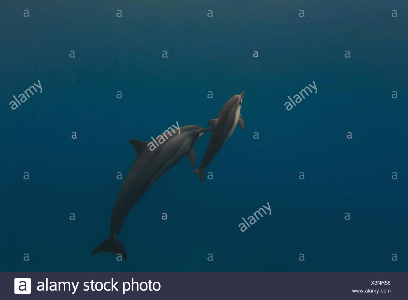Mother and young dolphin swimming in sea - Stock Image