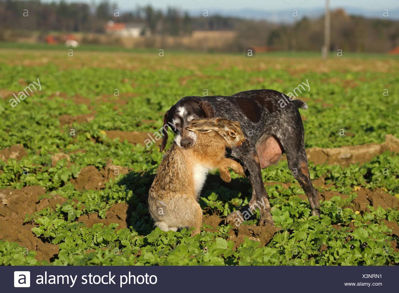 German Shorthaired Pointer, hunting dog retrieving European hare (Lepus europaeus), Lower Austria, Austria - Stock Image