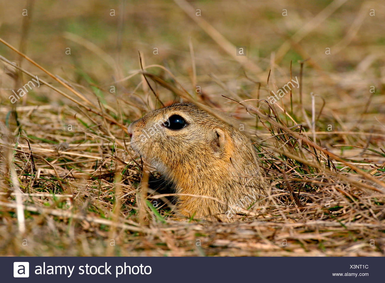 Ziesel (Spermophilus citellus) European ground squirrel Stock Photo