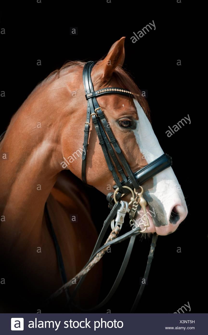 Hessian Warmblood Portrait - Stock Image