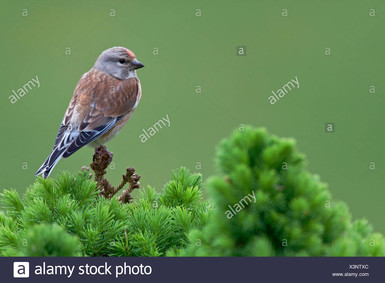 linnet (Carduelis cannabina, Acanthis cannabina), male sitting on a conifer tree, Germany, Schleswig-Holstein Stock Photo