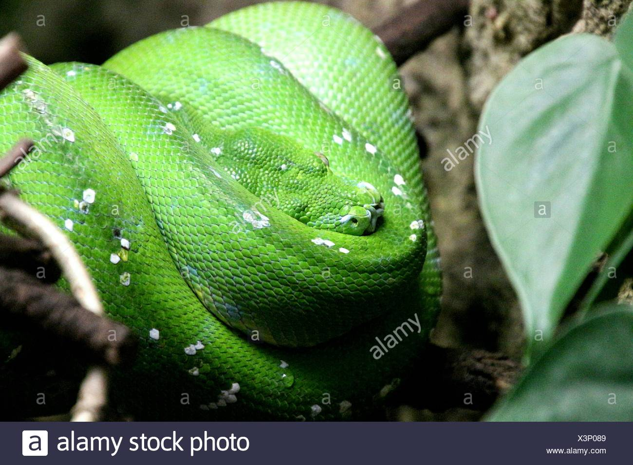 Close-Up Of Green Snake On Branch Stock Photo