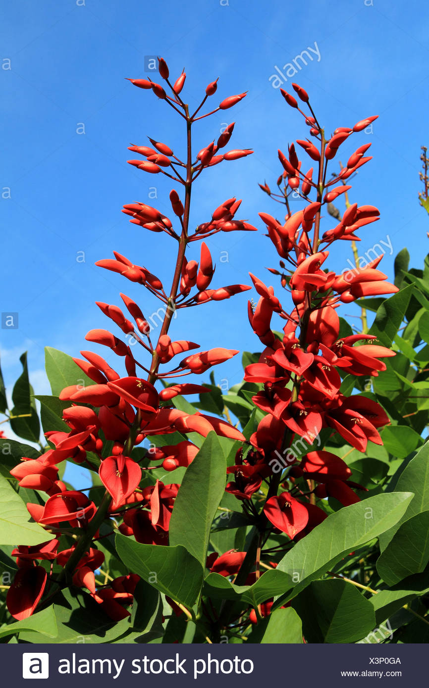 cockspur coral tree, crying baby (Erythrina crista-gallii), blooming Stock Photo