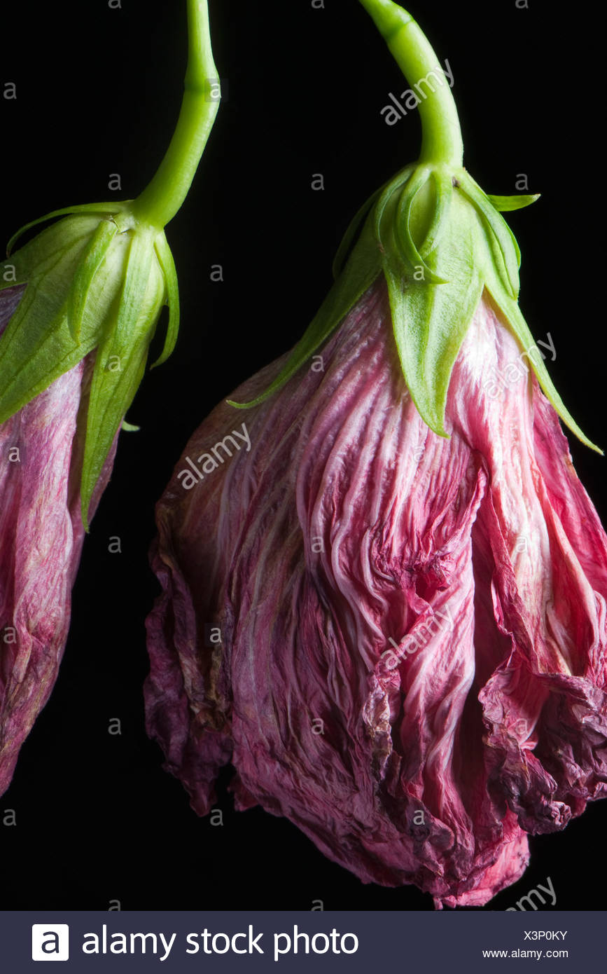 Wilted flowers hanging from bending stems, close-up - Stock Image