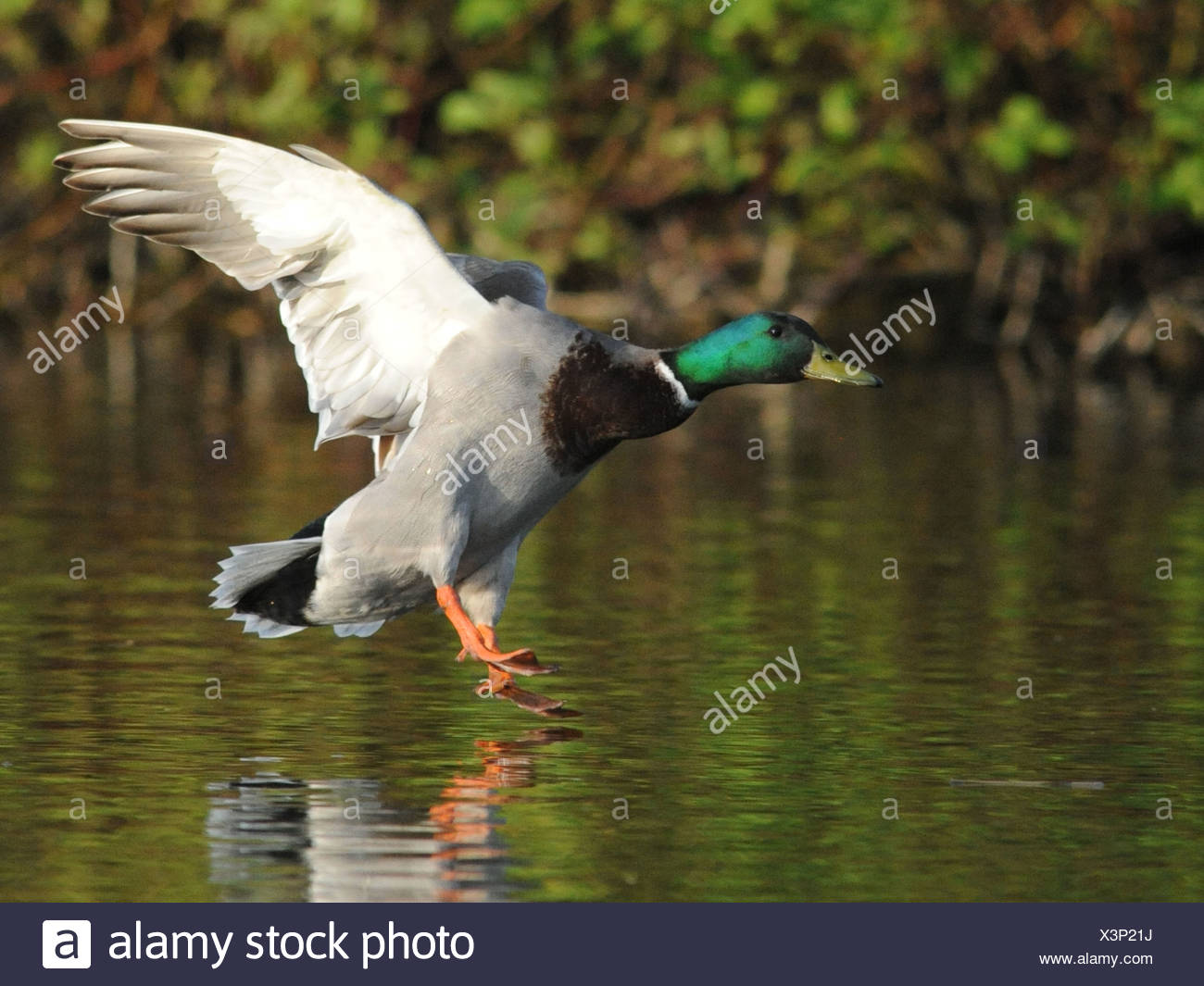 A male mallard coming in to land, home to roost. - Stock Image