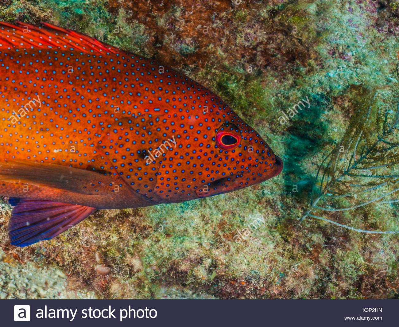 Blue Spot Grouper Stock Photos & Blue Spot Grouper Stock Images - Alamy