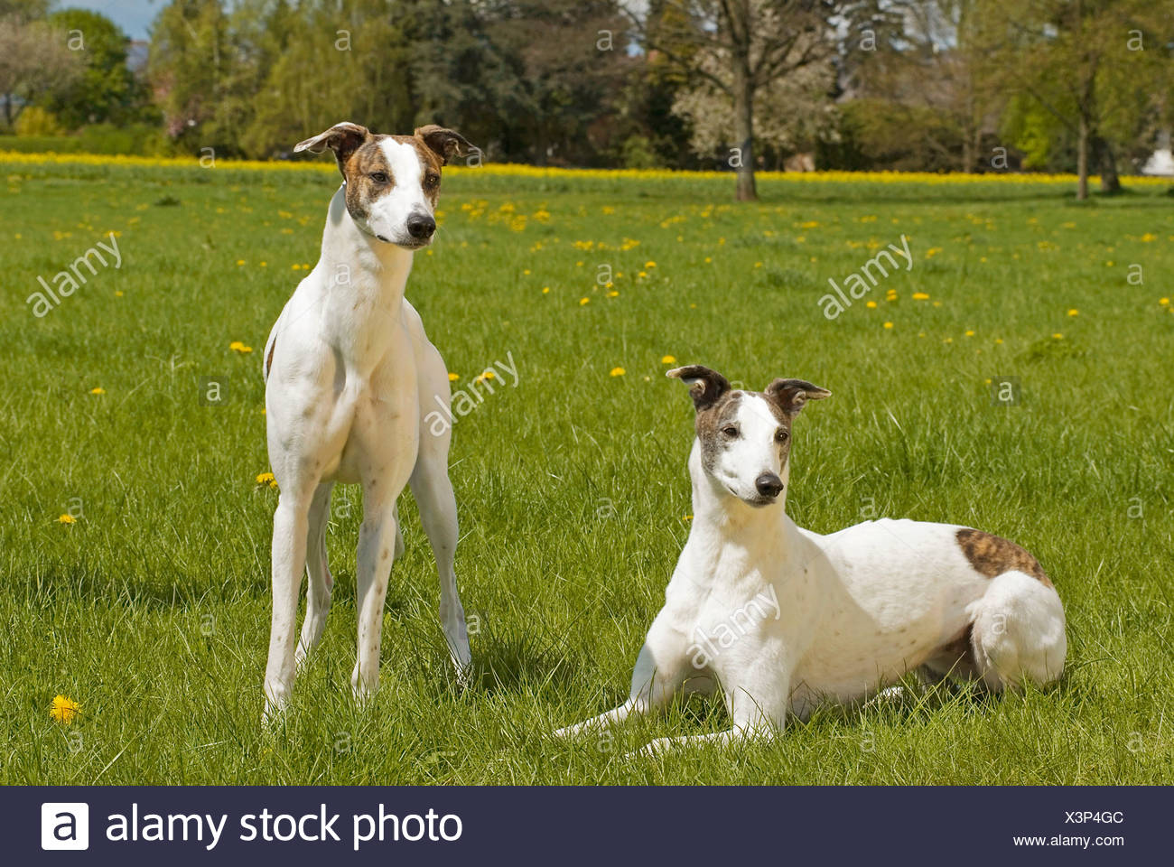 two Magyar Agar dogs meadow Stock Photo