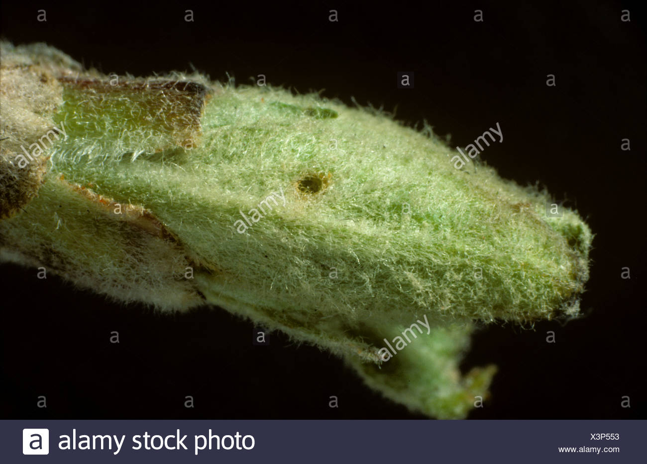 Damage to apple leaf bud by a winter moth Operophtera brumata caterpillar - Stock Image
