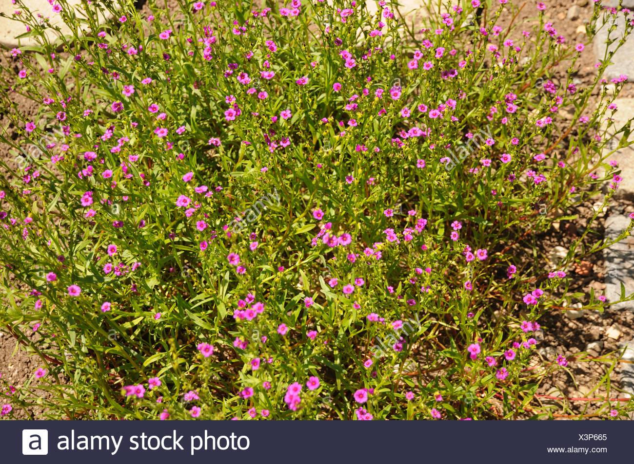 Calandrinia compressa Stock Photo