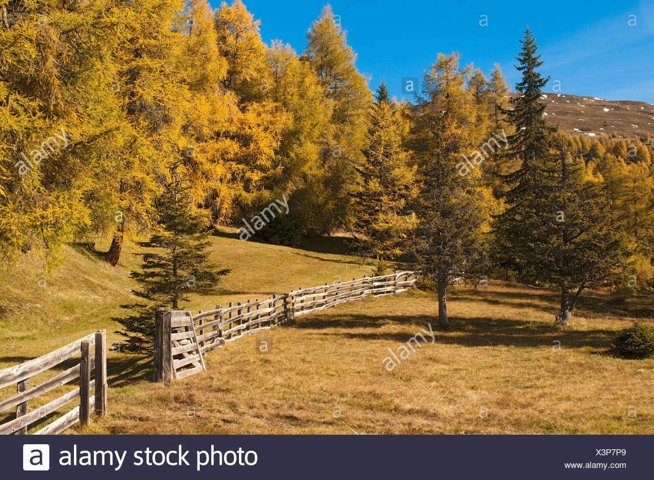 Cultural landscape with larches, Laerchenwiesen larch meadows, Obernbergtal, Tyrol, Austria, Europe Stock Photo