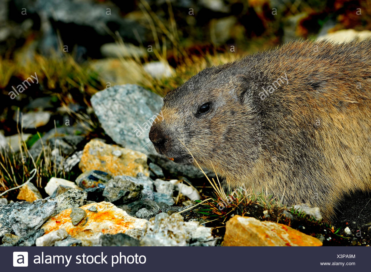a wild marmot in the spring looking cautious - Stock Image