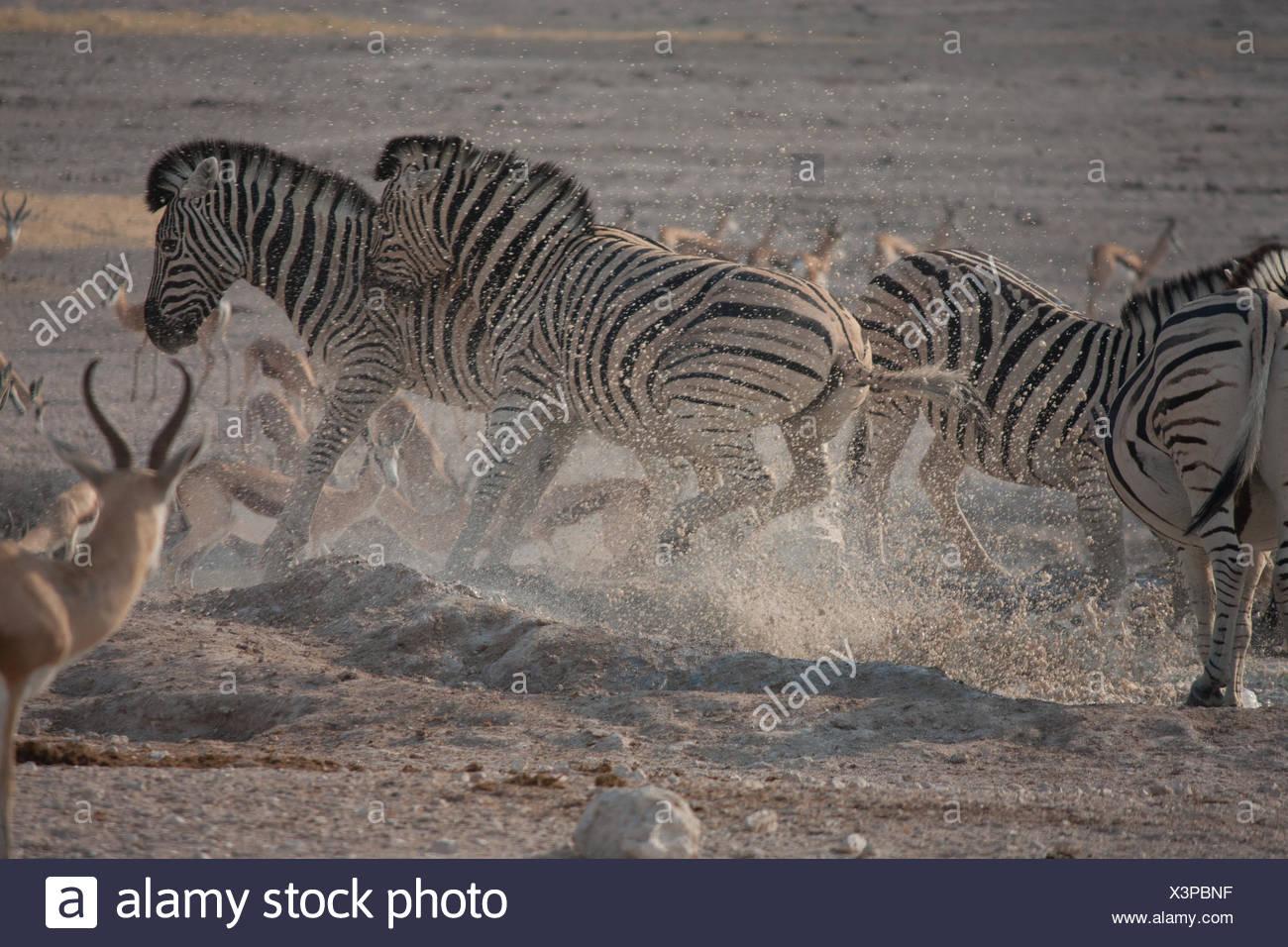 Zebras Running Through Water No Running Water Stock...