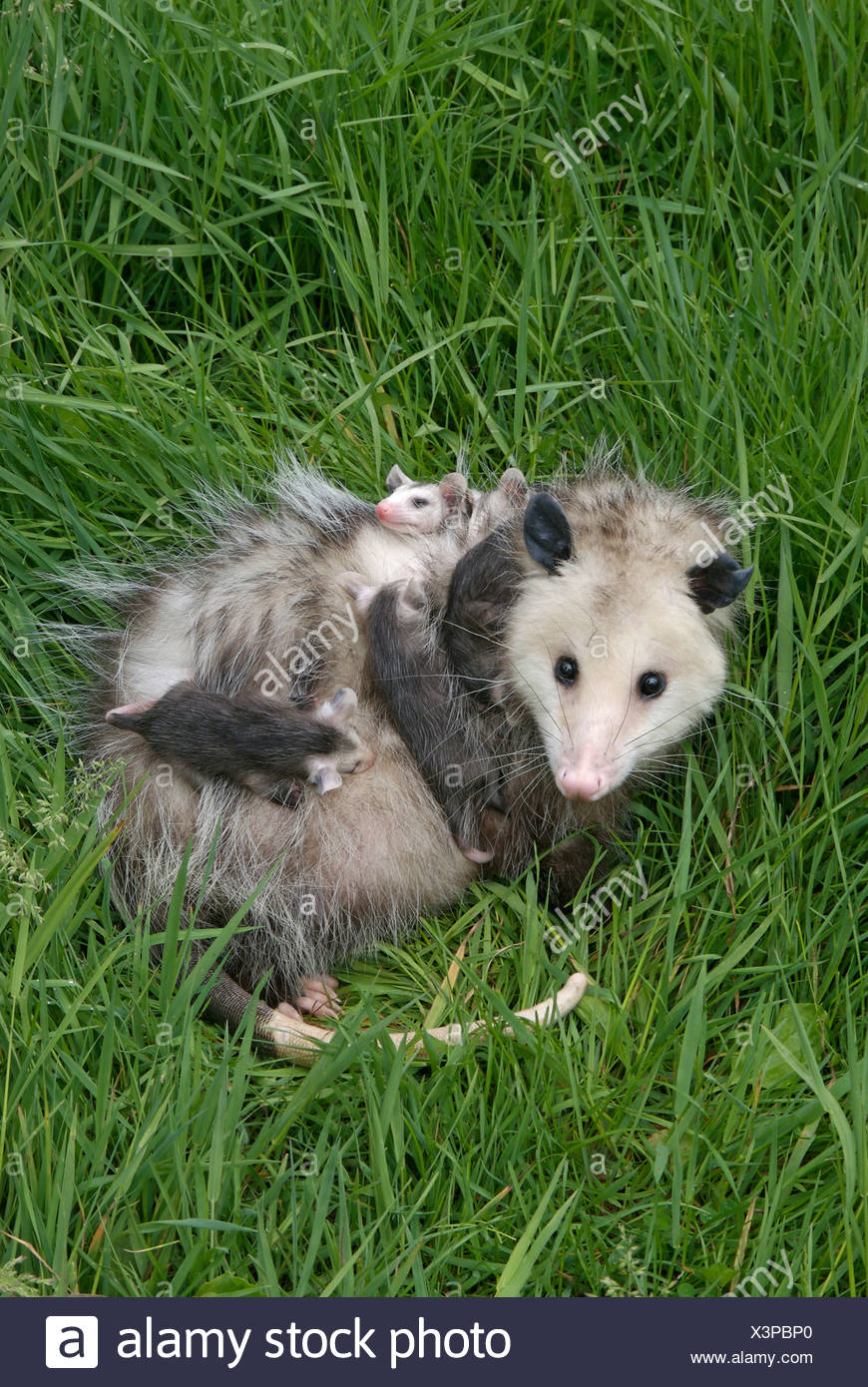 Female Opossum (Didelphis virginiana), with babies clinging to her in spring. Minnesota, USA - Stock Image