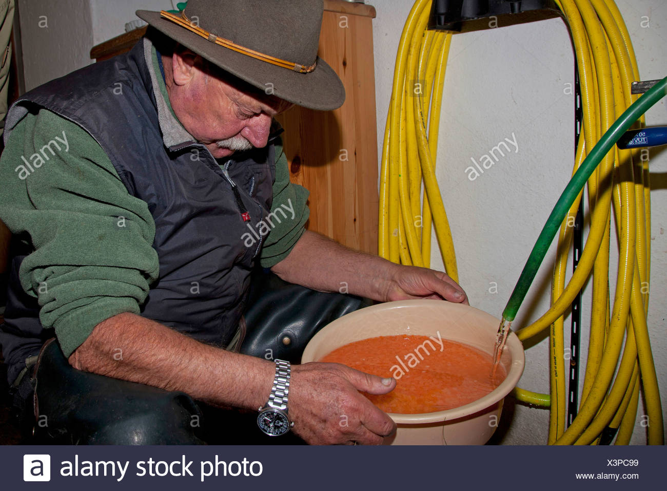 Marble trout (Salmo trutta), worker in a fish farm cleaning fertilised eggs in a pot - Stock Image