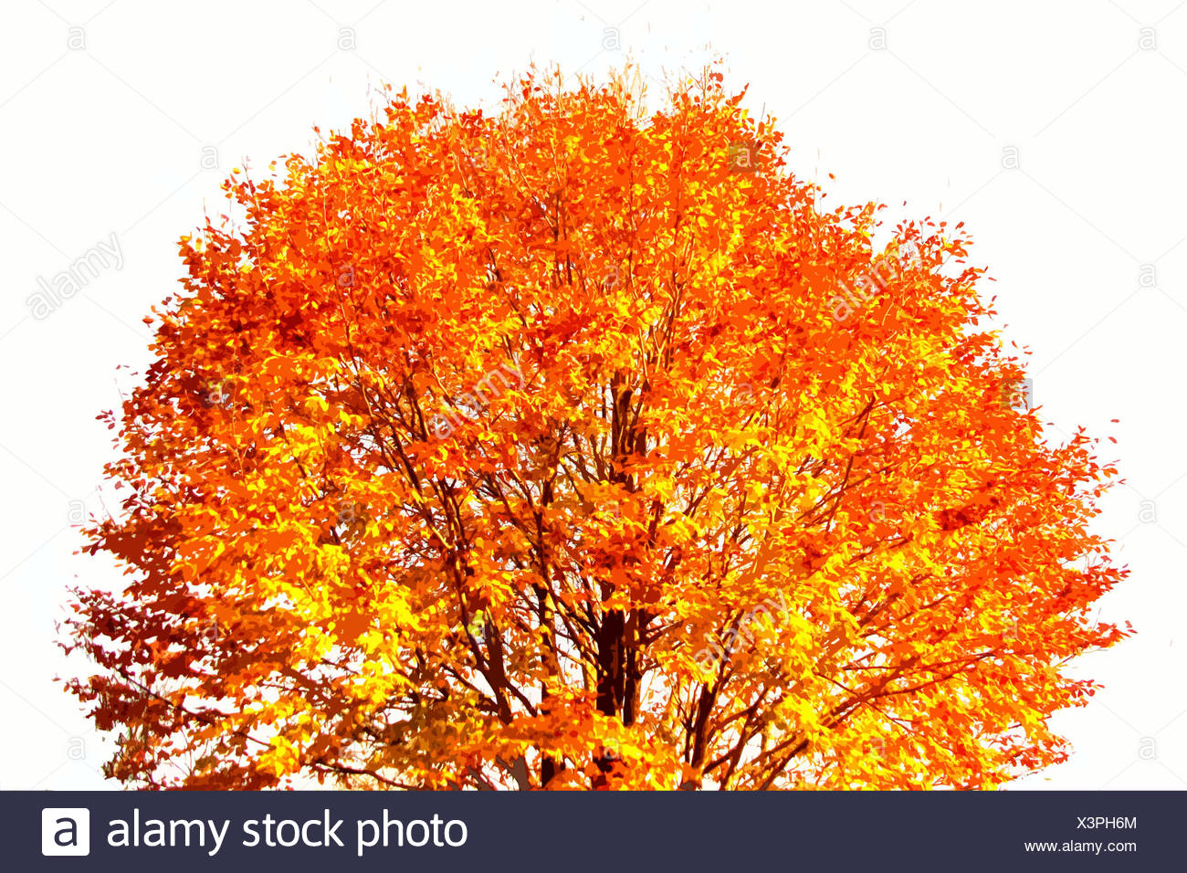 Series baume Autumn tree Maple E. Kleinert - Stock Image