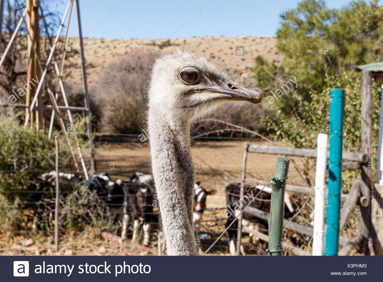 Ostrich - Head up and very inquisitive - Stock Image