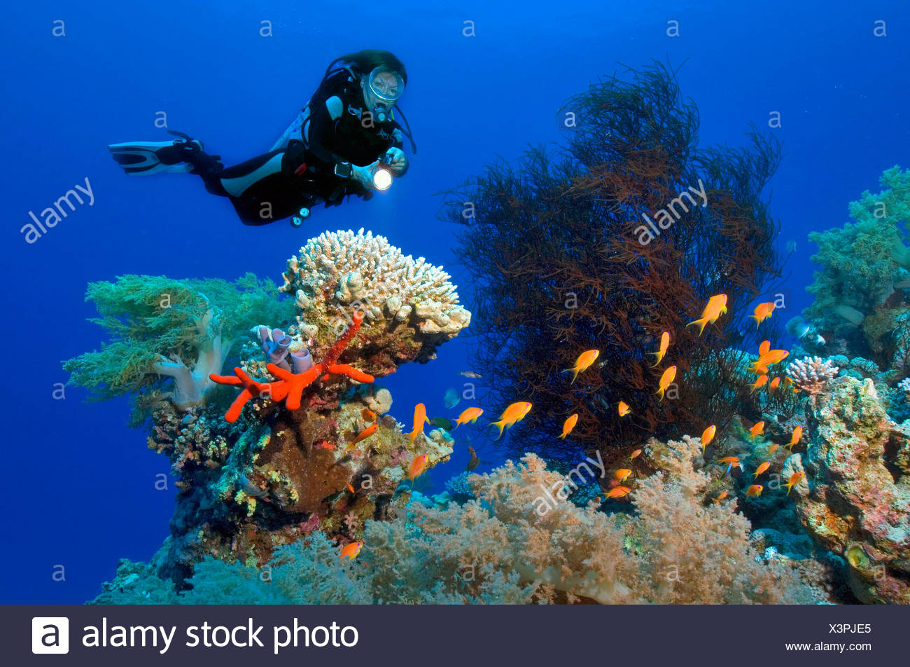 diver at coral reef, black coral, stone coral, softcoral, Lyretail anthias, Jordan, Minor Asia, Red Sea (Antipatharia sp., Acropora sp., Alcyonium sp., Pseudanthias squamipinnis) - Stock Image